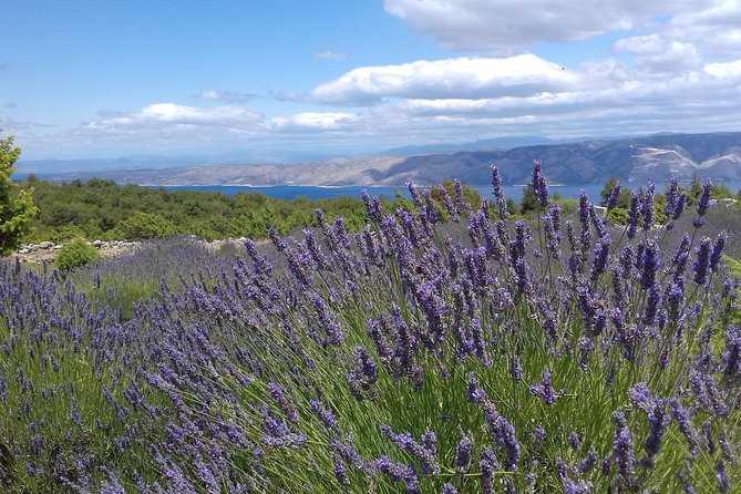 split to hvar day trip with lavender fields