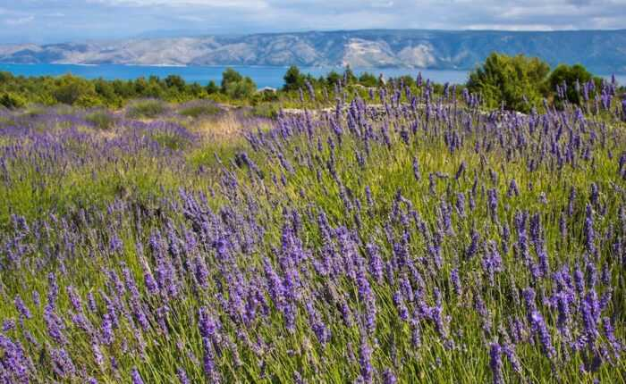 Split to Hvar Day Trip with a visit to Lavender fields ꟾ Croatia Private Tours